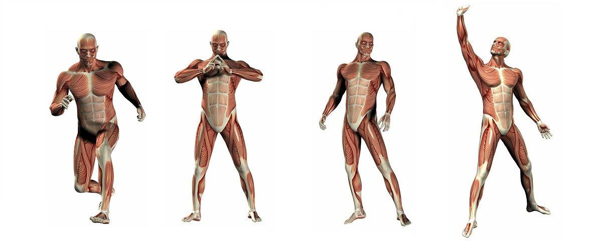 Anatomische modellen en anatomie posters bestellen bij FRAMO